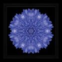 Obraz Mandala Chryzantéma
