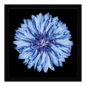 Obraz Mandala Chrpa
